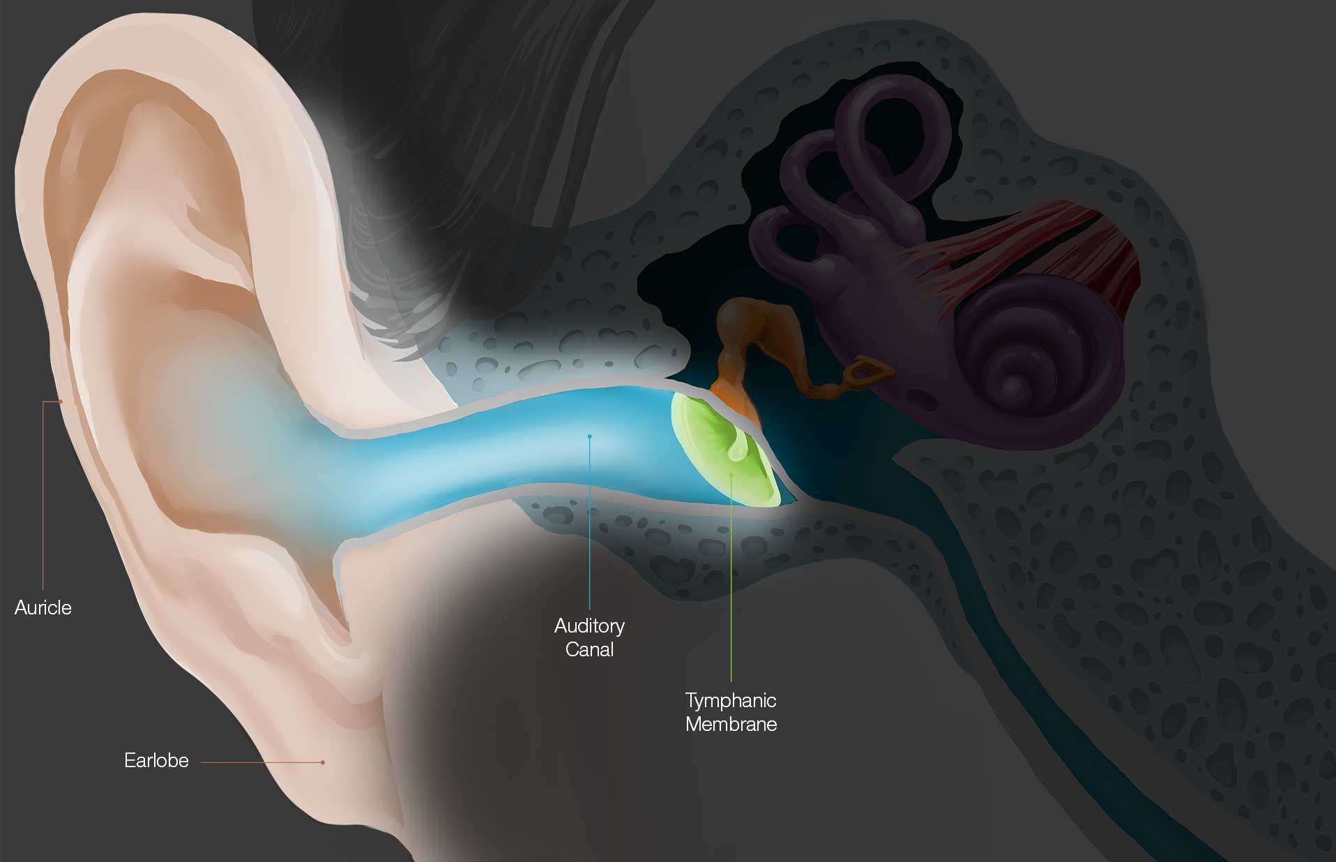 Anatomy & Physiology Outer – Chagrin Hearing Centers