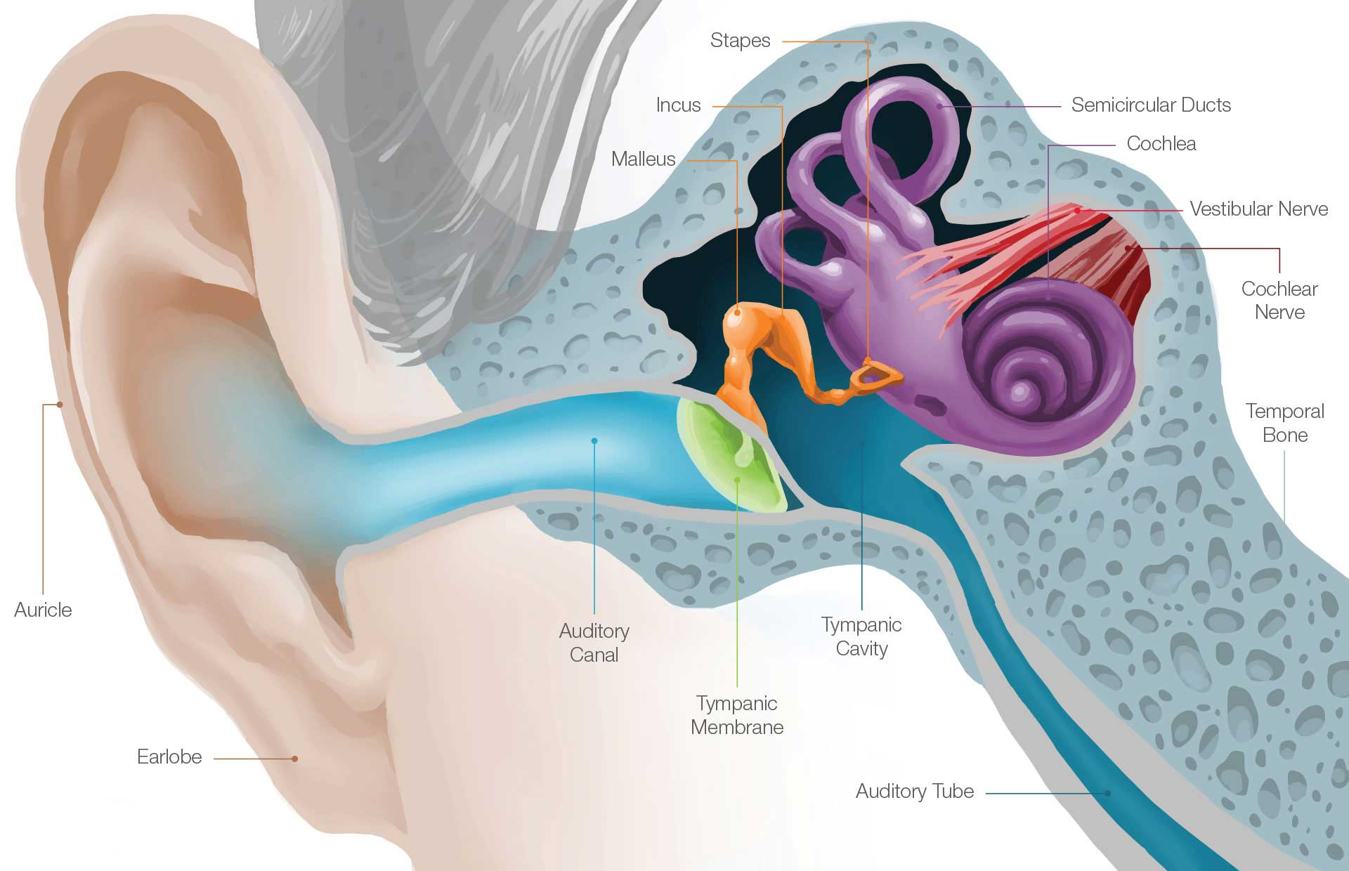 Anatomy & Physiology – Chagrin Hearing Centers